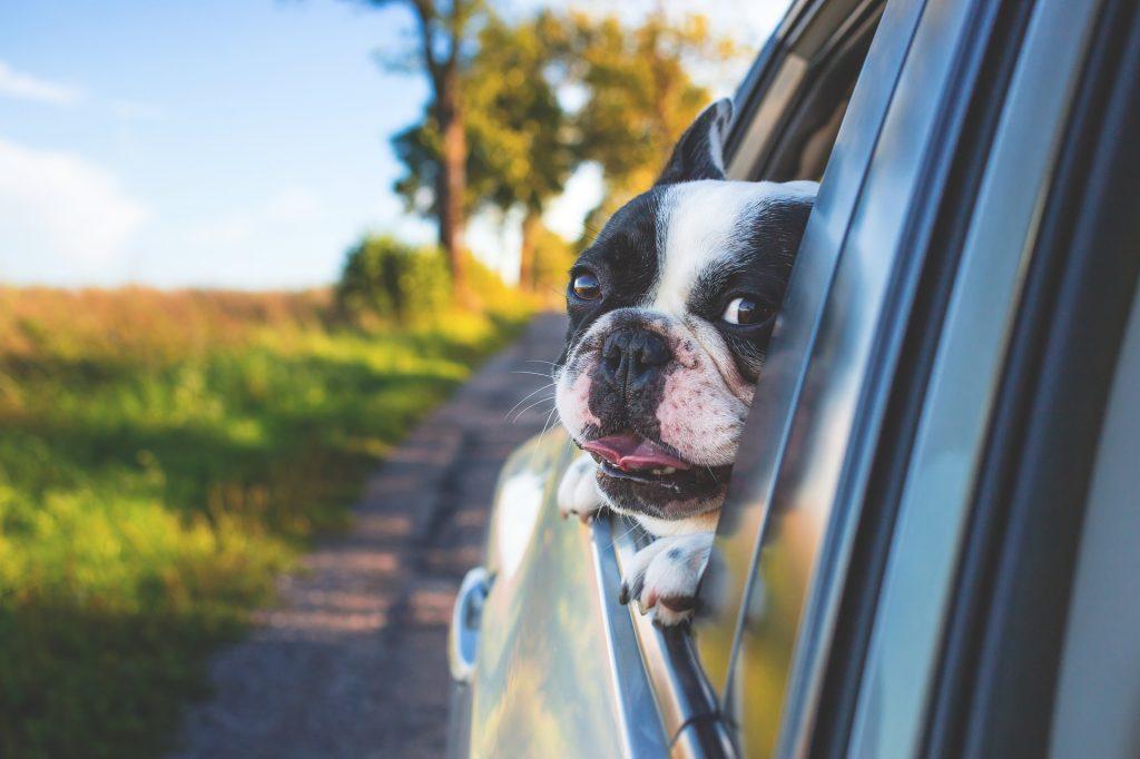 Bør man kjøre med kjæledyret sitt i bilen?